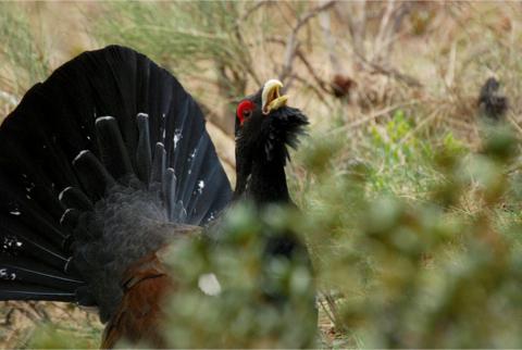 Galliformes, des hommes au secours des oiseaux rares