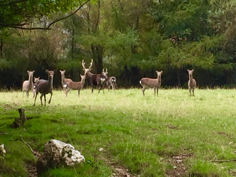 Ireland, Land of the Sika Deer