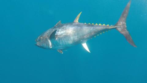 La pêche au thon en Méditerrannée