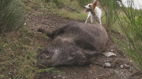 Une saison de chasse au sanglier avec les valeureux gaulois