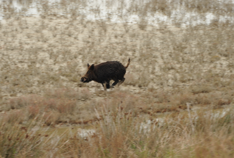 The wild boar, myths and realities